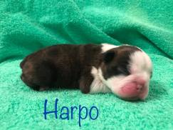 harpo2